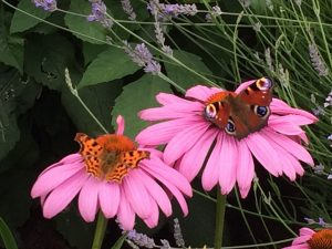 Comma and Peacock butterflies on echinacea
