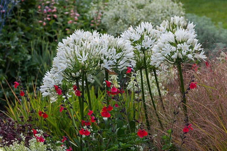 """Read more about the article Agapanthus """"White Heaven"""""""