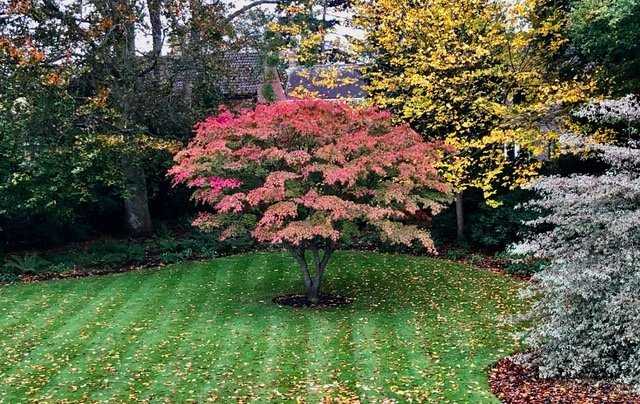 """Acer """"Nishiki gawa"""" at Saffrons in Sussex"""