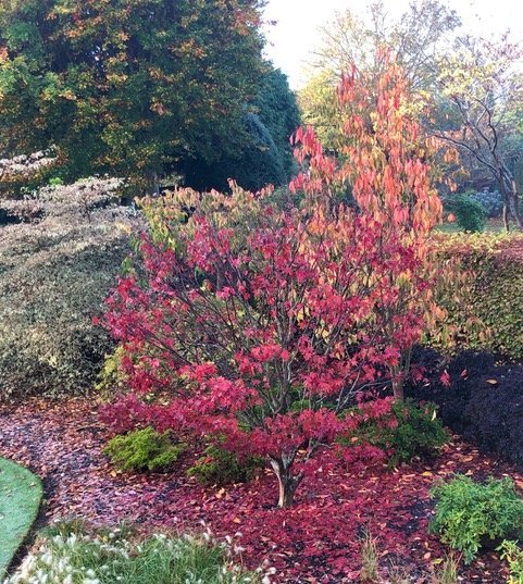 """Acer """"Okagami"""" loses it's colourful leaves"""