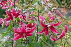 Lilium 'Laverne Freeman' oriental trumpet lily