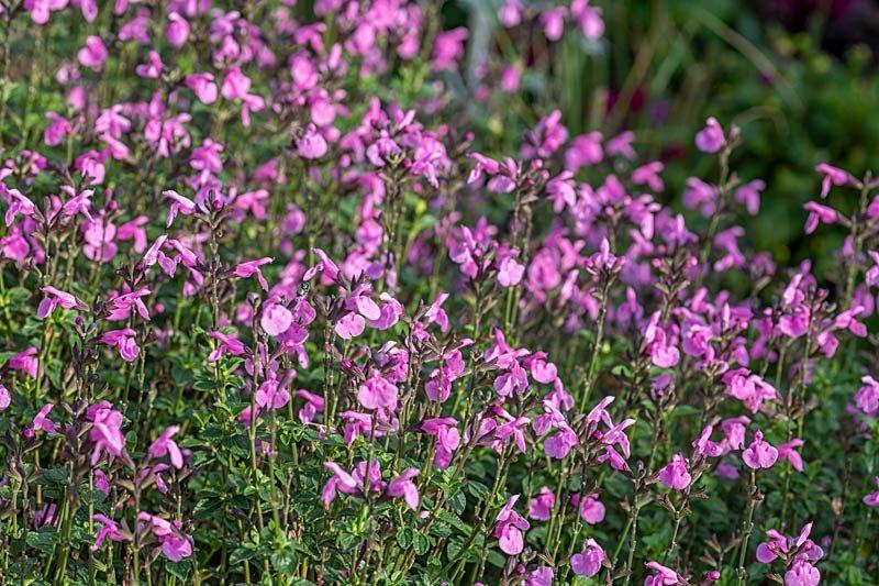 """Salvia microphylla """"Flower Child"""""""