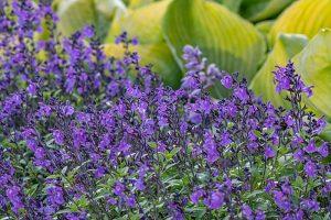 Salvia × jamensis 'Javier' sage