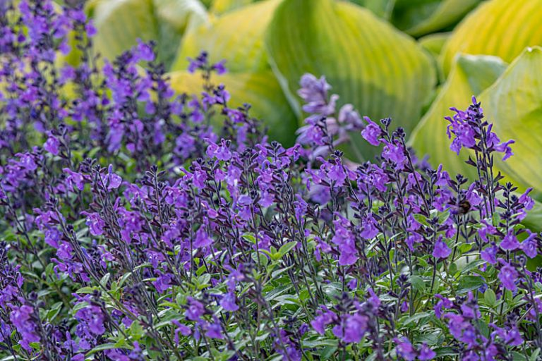 Read more about the article Shrubby Salvias