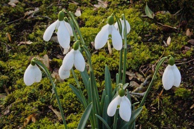 "Galanthus nivalis ""Ginn's Imperati"""