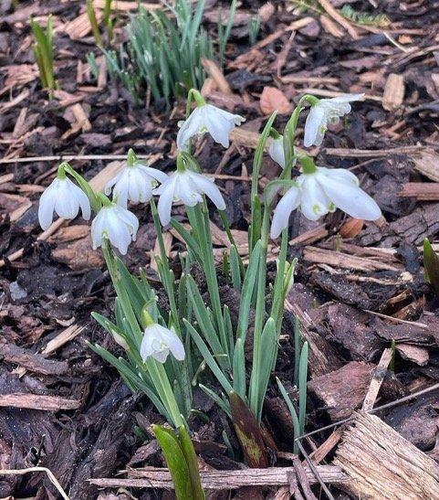 Galanthus nivalis flore-pleno in their little tutus