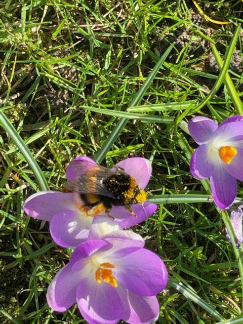 pollen-laden bee on crocus