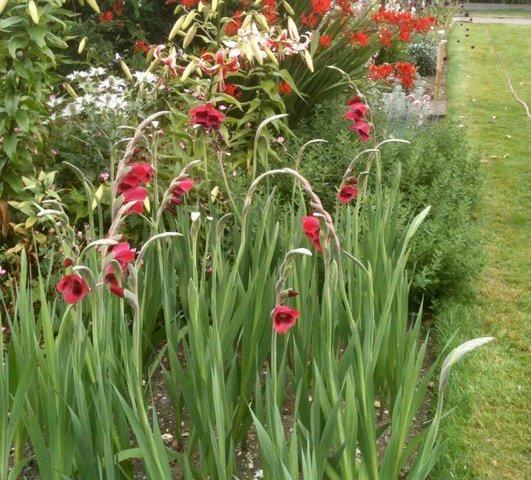 "Gladiolus papilio ""Ruby"""